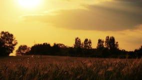 Campo de trigo fundido lentamente pelo vento perto da opinião da câmera fora de foco vídeos de arquivo
