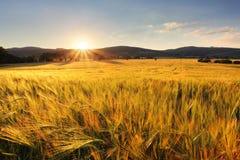 Campo de trigo - granja de la agricultura, industria Foto de archivo libre de regalías