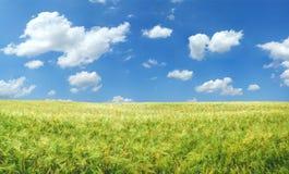 Campo de trigo hermoso Imágenes de archivo libres de regalías