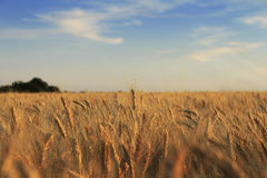Campo de trigo hermoso imagen de archivo libre de regalías