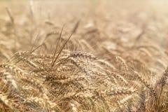 Campo de trigo hermoso, campo de grano en el verano, hora de cosechar Imagen de archivo