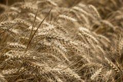 Campo de trigo, campo de trigo hermoso, sería una cosecha buena y rica - oído del trigo Imagen de archivo libre de regalías