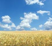 Campo de trigo hermoso XXL Imagen de archivo libre de regalías