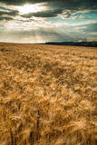 Campo de trigo imponente del paisaje del campo en puesta del sol del verano fotografía de archivo