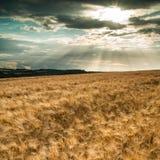Campo de trigo impressionante da paisagem do campo no por do sol do verão Fotos de Stock