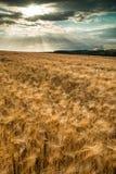 Campo de trigo impressionante da paisagem do campo no por do sol do verão fotografia de stock