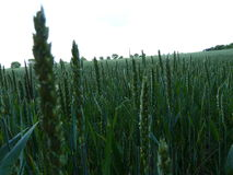 Campo de trigo inglés (6) Fotografía de archivo