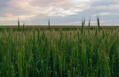 Campo de trigo inmaduro verde en fondo del cielo de la puesta del sol Foto de archivo libre de regalías