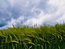 Campo de trigo joven fotografía de archivo libre de regalías
