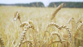 Campo de trigo de las tierras de labrantío almacen de video