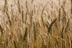 Campo de trigo macro de la foto Amarillo del pan de la cebada de Spica Fotografía de archivo