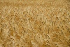 Campo de trigo maduro Foto de Stock