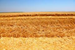 Campo de trigo maduro Imagem de Stock Royalty Free