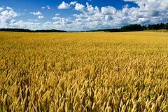 Campo de trigo maduro Foto de archivo libre de regalías