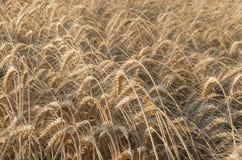 Campo de trigo maduro fotografia de stock royalty free