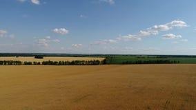 Campo de trigo maduro amarelo fim de julho dentro em Rússia vídeos de arquivo