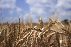 Campo de trigo maduro contra un cielo azul, día de verano soleado puntos Foto de archivo libre de regalías
