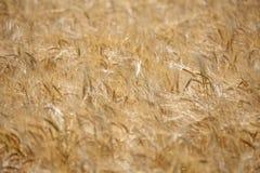 Campo de trigo maduro de oro Fotos de archivo libres de regalías