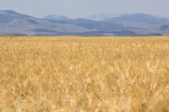 Campo de trigo maduro de oro Imagen de archivo libre de regalías