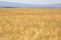 Campo de trigo maduro de oro Foto de archivo libre de regalías