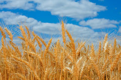 Campo de trigo maduro em Oregon Imagens de Stock