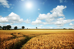 Campo de trigo maduro em um dia de verão foto de stock royalty free