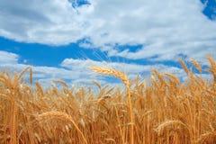 Campo de trigo maduro en Oregon Imagen de archivo libre de regalías