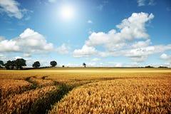 Campo de trigo maduro en un día de verano Foto de archivo libre de regalías