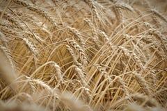 Campo de trigo maduro, es hora para la cosecha - granos de oro del trigo Imagen de archivo