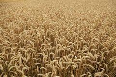 Campo de trigo maduro Textura do fundo fotos de stock