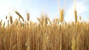 Campo de trigo momentos antes de la cosecha almacen de metraje de vídeo