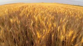 Campo de trigo na antena do por do sol video estoque
