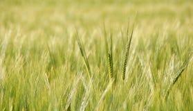 Campo de trigo na luz solar foto de stock royalty free