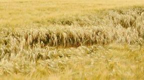 Campo de trigo na luz solar imagem de stock