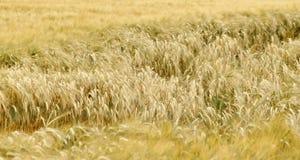 Campo de trigo na luz solar fotos de stock