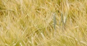 Campo de trigo na luz solar foto de stock