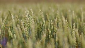 Campo de trigo na manhã video estoque