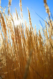 Campo de trigo na manhã ensolarada perfeita Fotografia de Stock