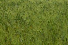 Campo de trigo na mola Fotografia de Stock Royalty Free