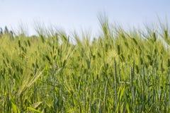 Campo de trigo na mola Imagens de Stock