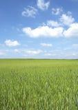 Campo de trigo na mola Fotos de Stock Royalty Free