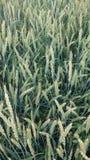 Campo de trigo na mola atrasada imagens de stock