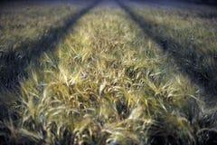 Campo de trigo na noite imagens de stock