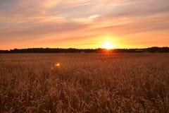 Campo de trigo no alvorecer Fotografia de Stock Royalty Free