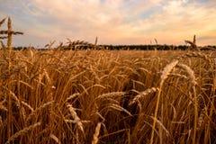 Campo de trigo no alvorecer Imagens de Stock Royalty Free