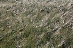 Campo de trigo no amanhecer com luz do sol brilhante e vento vivo Imagens de Stock
