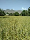 Campo de trigo no bajaur Paquistão fotografia de stock royalty free