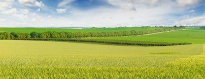 Campo de trigo no dia ensolarado Imagens de Stock