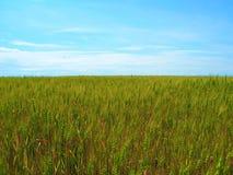 Campo de trigo no fundo do céu azul imagem de stock royalty free