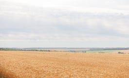 Campo de trigo no fundo do céu azul Imagens de Stock Royalty Free